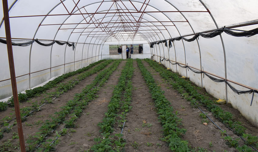 Strawberries in polytunnels near Chisnau after soil sterilisation.
